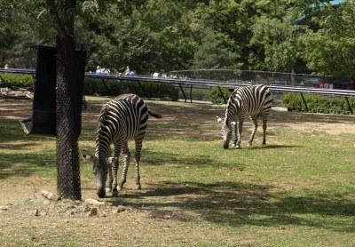 4-zebras