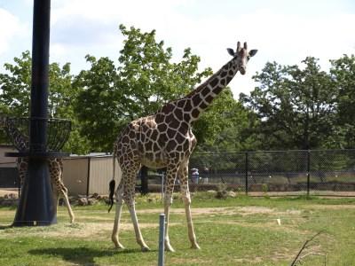 5-giraffe