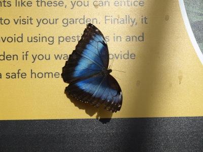 9-blue butterfly