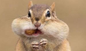 chipmunk-cheeks
